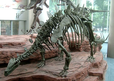 Chinese stegosaur skeleton